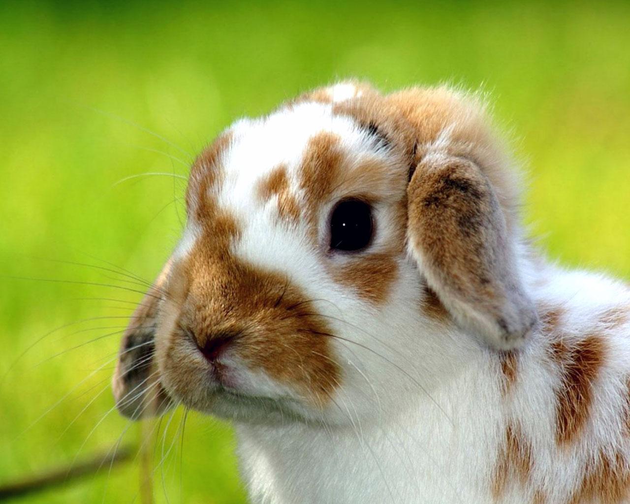 Obrázek na plochu v rozlišení 1280 x 1024 roztomilý králíček