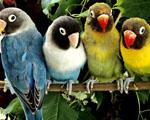 Obrázek - Schůze papoušků