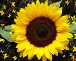 Obrázek - Slunečnice s motýlky