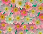 Obrázek - Růžové květy japonské anemonie