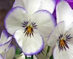 Obrázek - Bílofialové květy macešek