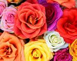Obrázek - Velké množství květů růže