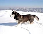 Obrázek - Sibiřský Husky ve střehu