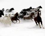 Obrázek - Stádo koní v zasněžených kopcích