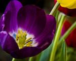 Obrázek - Hlas tulipánů