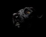 Obrázek - Černý pes ve tmě