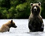 Obrázek - Medvědi z Aljašky