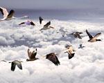 Obrázek - Tažení všech ptáků