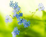 Obrázek - Světle modré kvítky jako tapeta na pc
