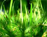 Obrázek - Ranní tráva