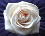 Obrázek - Květ bílé růže v detailu