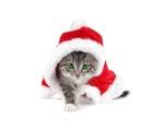 Kočka Santy Clause