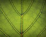 Obrázek - Struktura zeleného listu v detailu