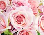 Obrázek - Nejlepší růžové květy růží