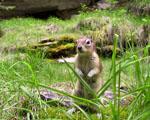 Obrázek - Veverka v zelené trávě
