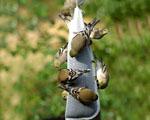 Obrázek - Američtí goldfinch ptáčci zachyceni při krmení