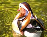 Obrázek - Mandarinská kachna na jezeře
