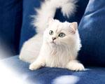 Obrázek - Bílá kočička na pohovce