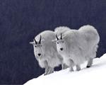 Obrázek - Horské kozy jedna jako druhá