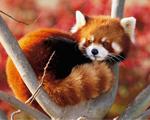 Obrázek - Japonská Panda v klubíčku