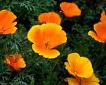 Obrázek - Krásné květy zlatých macešek