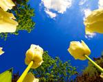 Obrázek - Tulipány a modrá obloha
