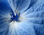 Obrázek - Opravdu krásný modrý květ