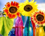 Obrázek - Barevné variace slunečnic