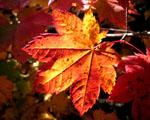 Obrázek - Červený list na Vaši plochu