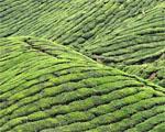 Obrázek - Čajové pole