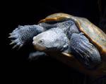 Obrázek - Vodní želva