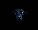 Obrázek - Hlava černého psa
