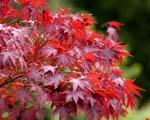 Obrázek - Červené listy javoru
