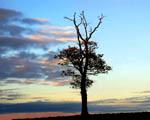 Obrázek - Silueta stromu před mraky