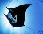 Obrázek - Neskutečně velká Manta Ray
