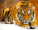 Obrázek - Sibiřský tygr ve střehu