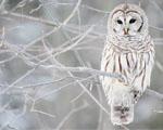 Obrázek - Bílá sova na zasněžené větvi
