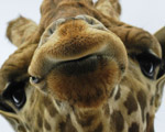 Obrázek - Čumák žirafy v detailu