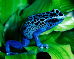 Obrázek - Krásně zbarvená žabka