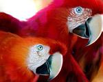 Obrázek - Krásně rudí papoušci