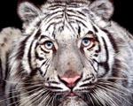 Bílý tygr v detailu