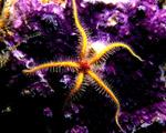 Obrázek - Podmořská hvězdice na korálu