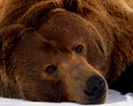 Obrázek - Smutný medvěd