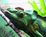 Obrázek - Flegmatický chameleon