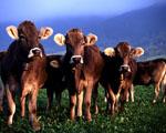 Obrázek - Krávy se ukazují