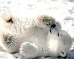 Obrázek - Mládě ledního medvěda
