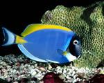 Obrázek - Mořská pestrobarevná rybka