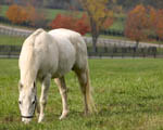 Obrázek - Na pasece se pase bílý kůň