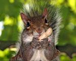 Obrázek - Veverka pojídá arašídu