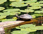 Obrázek - Vodní želva a vodní fauna